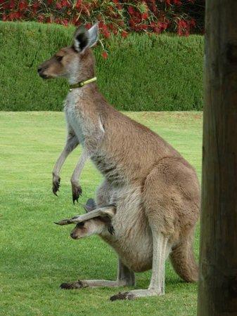 Woollybush Guest House : Pet kangaroos!