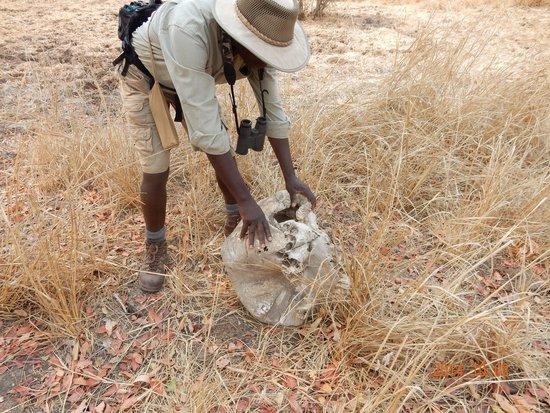 Chikoko Trails Camps: Alex explaining about the elephant skull