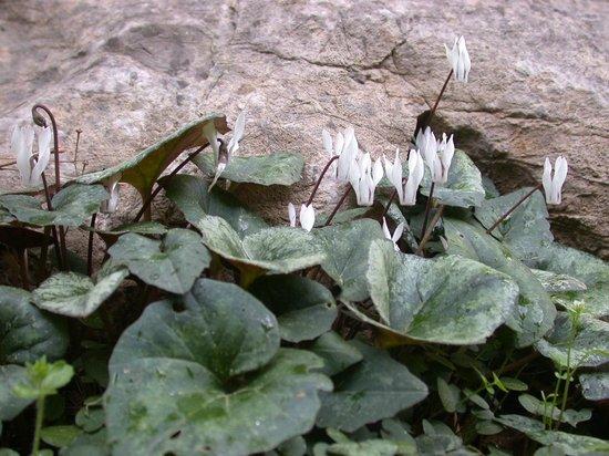 Jardín Botánico de Soller: Cyclamen balearicum