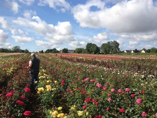 Auberge Bienvenue: champs de rose proche hotel