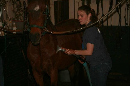 UVM Morgan Horse Farm: Another unhappy mare being vacuumed.