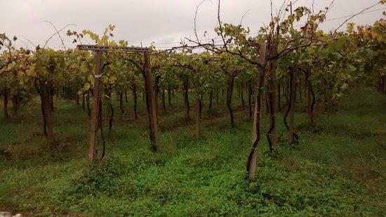 La Chiave Bianca: Les oliviers et les vignobles