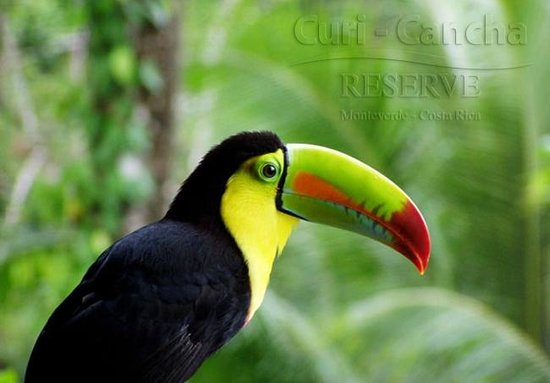 Curi Cancha Reserve : Toucan