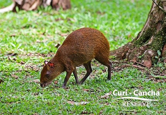 Curi Cancha Reserve : Agouti