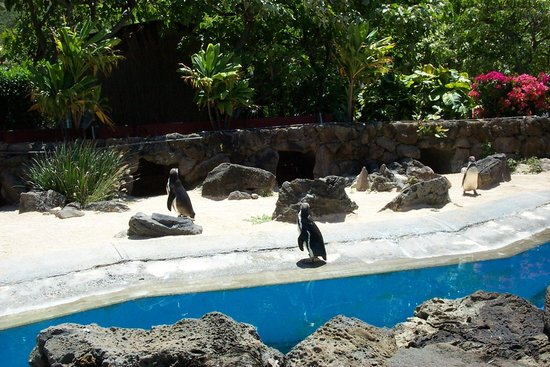 Sea Life Park Hawaii : Penguins
