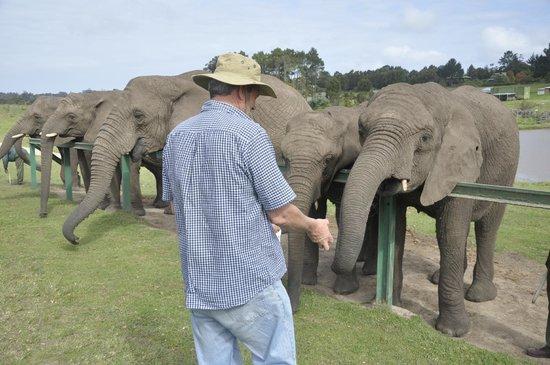 Knysna, Sør-Afrika: Feeding the elephants fruit and veg