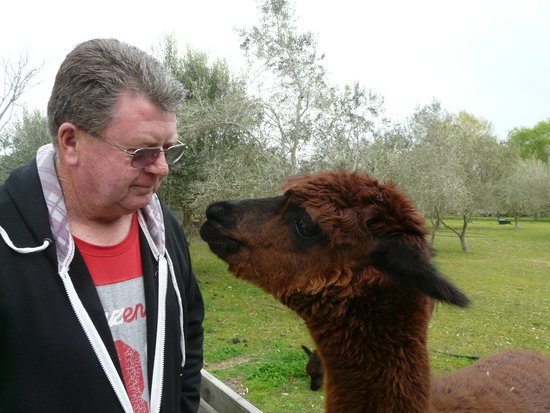 Hillsfield House Bed and Breakfast Marlborough : Twiggy, this kissing alpaca!