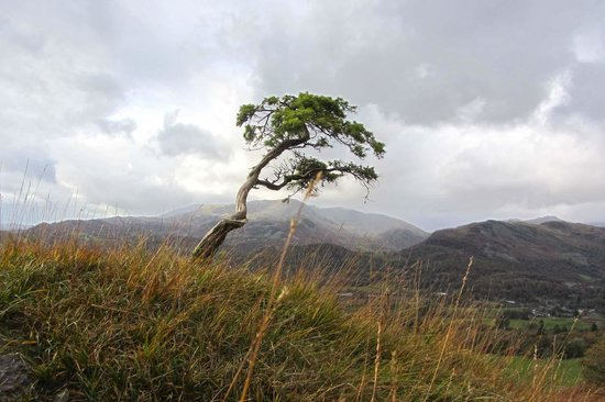 Loughrigg Fell: a small Juniper looking like a full size tree