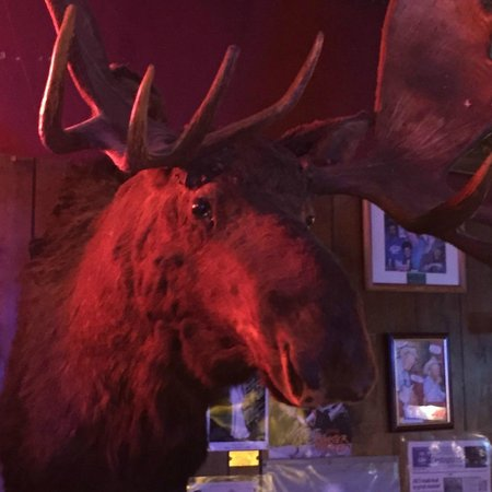 Shooting Star Saloon: Moose mounted at the height it stood at.