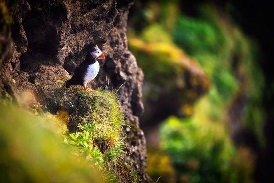 Péninsule sud, Islande : Puffins in Dyrhólaey Nature Reserve