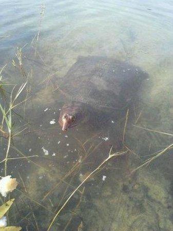 Wickham Park : soft shell turtle