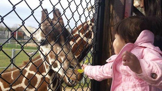NEW Zoo & Adventure Park: Feeding Giraffes