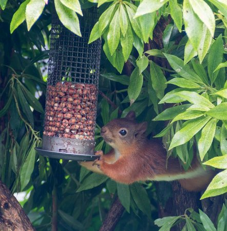 Heron Beck Guest House : Red squirrel