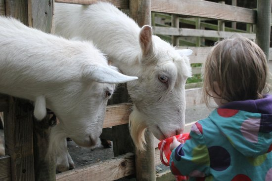 North Hayne Farm Cottages: Feeding the goats