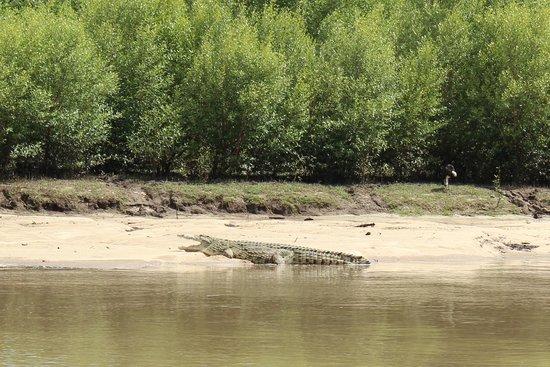 Safari Mashariki Lodge: crocodile