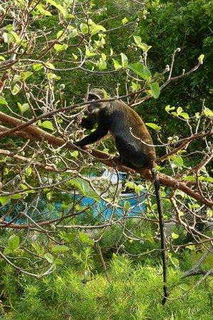Diani Sea Resort: Sik ou singe bleu vu de mon balcon