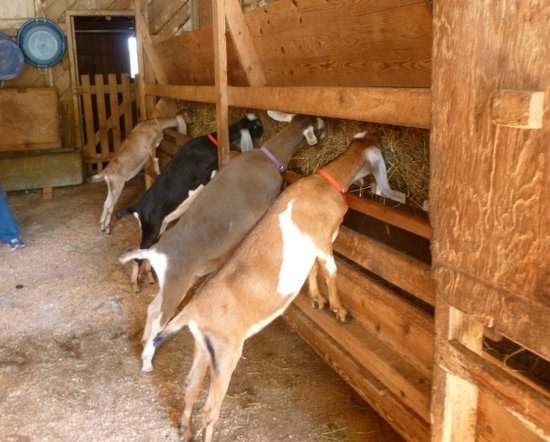 Flat Rock, NC: the goats on the farm