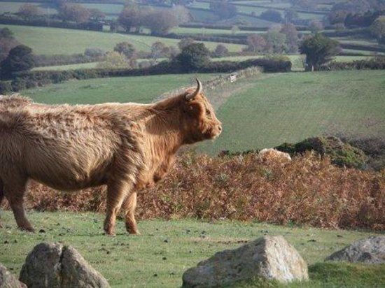 The Coach House Hotel: Highland cattle on the moors