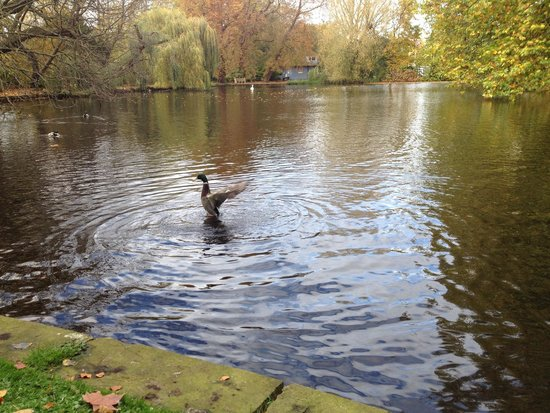 Worcester College: Happy duck cleaning himself