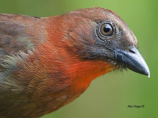 Dave & Dave's Costa RIca Nature Pavilion Park: Red-throated Ant-Tanager - male - portrait - Alex Vargas, 2013