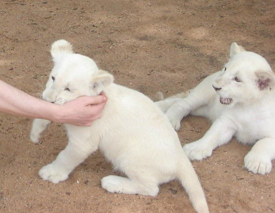 Mama Tau White Lions Breeding Project: Cute