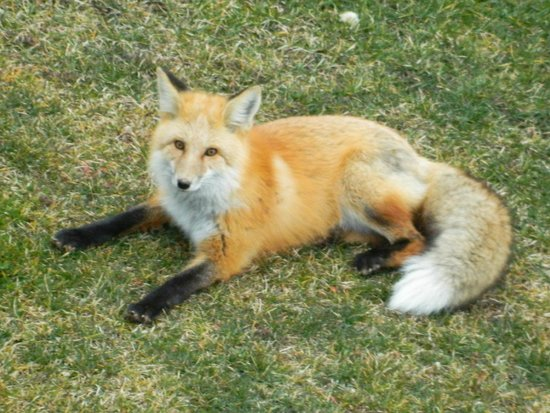 One Of Two Resident Foxes At Lake Levinsky Picture Of