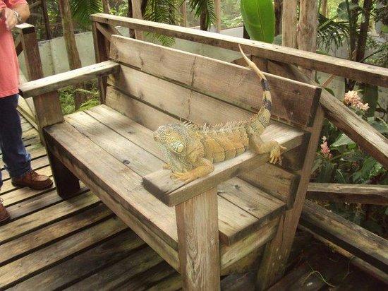 San Ignacio Resort Hotel: Another iguana