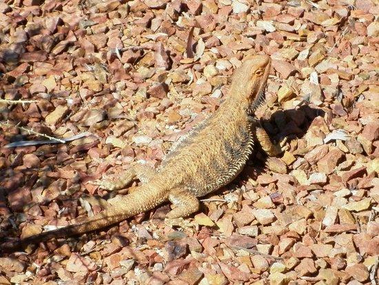 Australian Arid Lands Botanic Garden: bearded dragon
