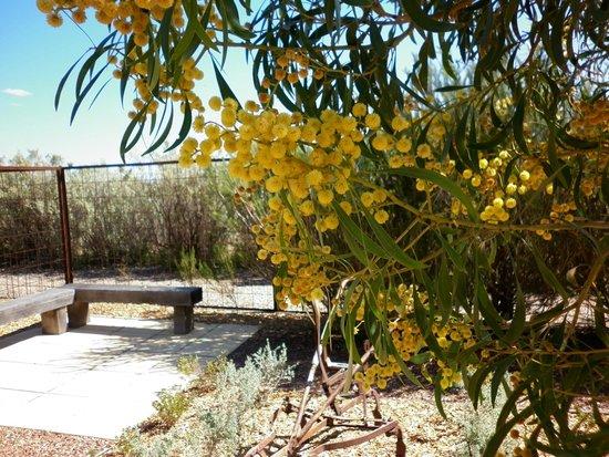 Australian Arid Lands Botanic Garden: wattle