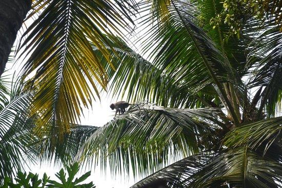 The Travancore Heritage Beach Resort : Иногда забегали обезьянки