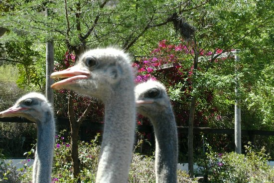 Cango Ostrich and Butterfly farm: Strauss