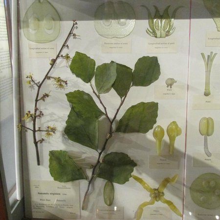 Harvard Museum of Natural History : Witch Hazel - one of my favorite native plants