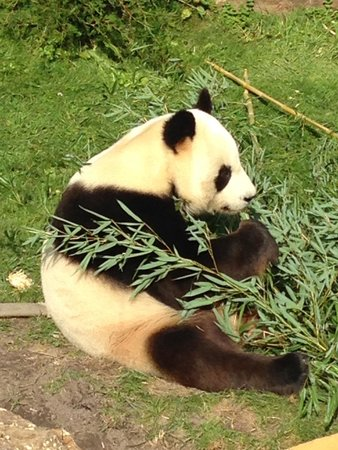 Cussay, Frankrijk: The pandas at Beauval Zoo  are active sometimes