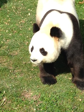 Cussay, Frankrijk: Panda at Beauval Zoo