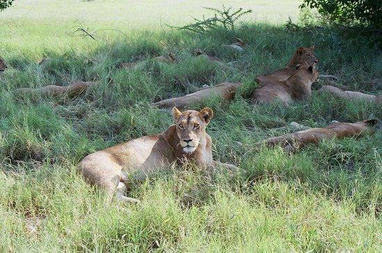 Savute Safari Lodge : Interrupted her afternoon nap