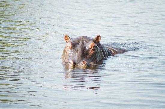 Savute Safari Lodge : Hungry hippo