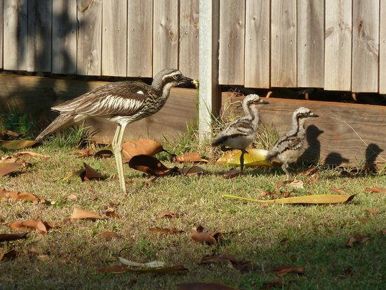 Seminara Apartments : Curlew parent and babies