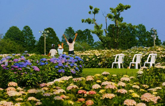Tsu, Япония: かざはやの里のあじさい園の「散水で喜ぶ家族」5月下旬~7月上旬開花