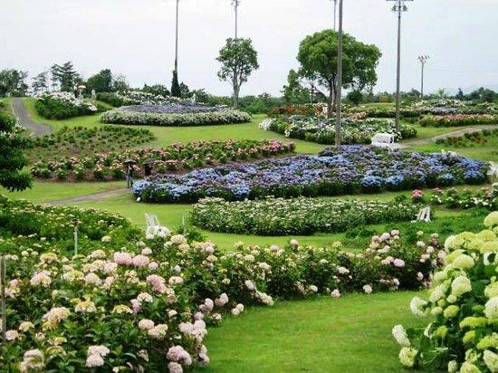 Tsu, Japan: かざはやの里のあじさい園「あじさい品種による花壇の色咲い美」