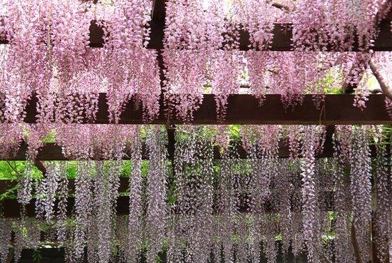 Tsu, Japan: かざはやの里の藤棚「紅藤と九尺藤のグラデーション」4月下旬~5月上旬開花