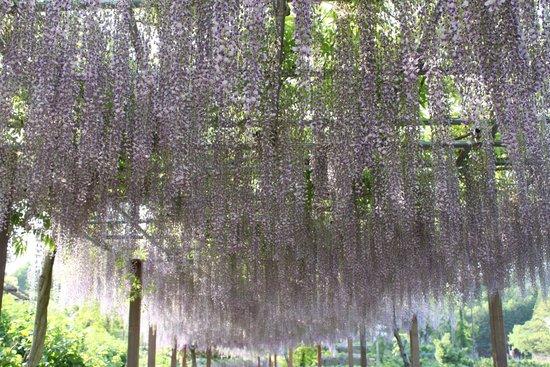 Tsu, Japón: かざはやの里の藤棚の「九尺藤」4月下旬~5月上旬開花
