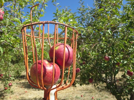 Riley's Apple Farm: Rent one of these apple pickers. Someone gave us their picker when they finished!