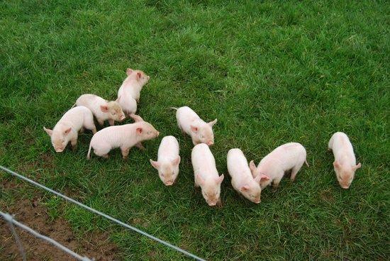 Waitomo Farmstay : Piglets!