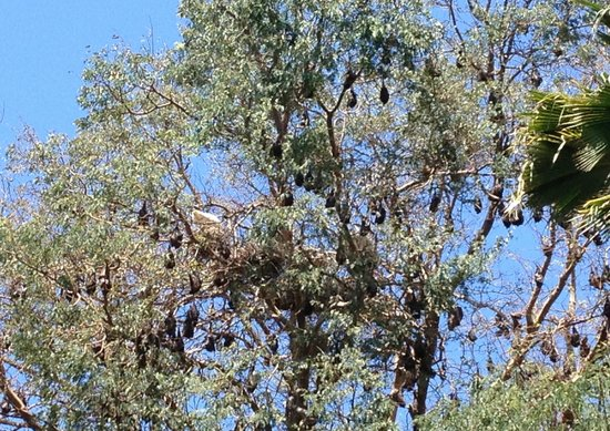 Townsville Palmetum: Flying foxes rule