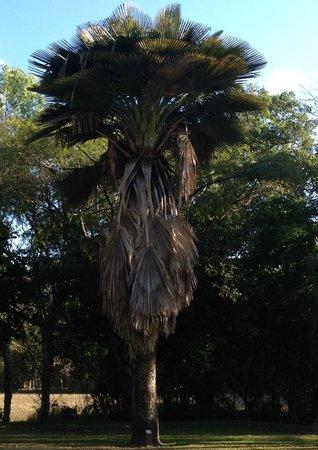 Townsville Palmetum: Copernicia palm, from Cuba