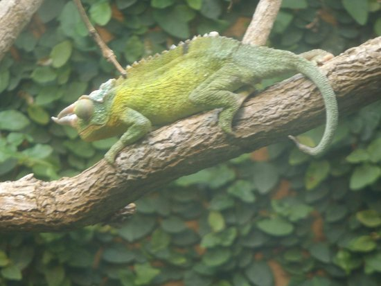 Reptile Park : The chameleon can be hard to spot at first