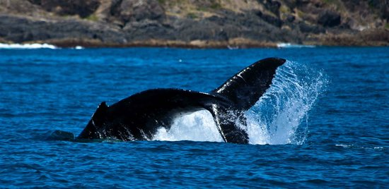 Coffs Harbour, Australia: Whale calf at play