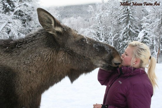 Duved, Sverige: kissing the moose