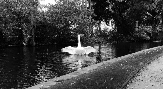 Worcester College: Beautiful swan.
