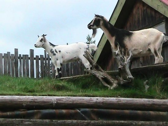 Goats On The Roof Picture Of Old Country Market Coombs